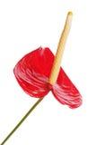 Κόκκινο anturium που απομονώνεται στην άσπρη ανασκόπηση Στοκ Εικόνες