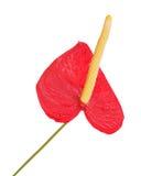 Κόκκινο anturium που απομονώνεται στην άσπρη ανασκόπηση Στοκ Φωτογραφίες