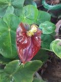 Κόκκινο anturium Στοκ φωτογραφία με δικαίωμα ελεύθερης χρήσης