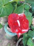 Κόκκινο anturium Στοκ Φωτογραφία