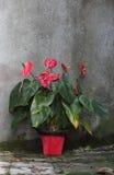 Κόκκινο anturium Στοκ εικόνες με δικαίωμα ελεύθερης χρήσης