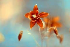 Κόκκινο Aquilegia λουλουδιών Λεπτά λουλούδια σε ένα όμορφο υπόβαθρο Στοκ φωτογραφία με δικαίωμα ελεύθερης χρήσης