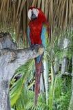 κόκκινο ara στοκ φωτογραφία με δικαίωμα ελεύθερης χρήσης