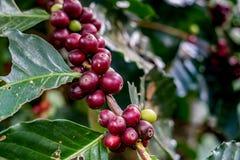 Κόκκινο arabica φασόλι καφέ Στοκ Εικόνα
