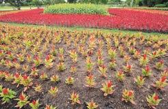 Κόκκινο argentea Celosia Στοκ Φωτογραφία