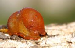 Κόκκινο Arion σοκολάτας aka γυμνοσαλιάγκων, rufus Arion Στοκ Φωτογραφίες