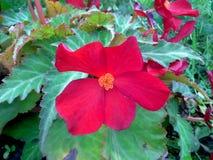 Κόκκινο begonia Στοκ φωτογραφίες με δικαίωμα ελεύθερης χρήσης