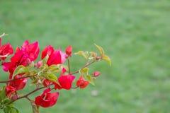 Κόκκινο Bougainvillea (λουλούδι εγγράφου) με το πράσινο υπόβαθρο Στοκ Εικόνες