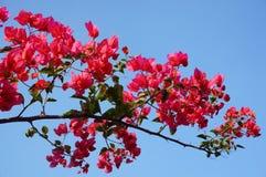 Κόκκινο bougainvillea Στοκ φωτογραφία με δικαίωμα ελεύθερης χρήσης