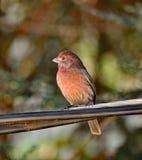 Κόκκινο Brested Robin Στοκ Φωτογραφία