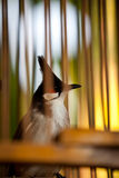 Κόκκινο Bulbul στο birdcage Στοκ Φωτογραφία