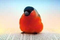 Κόκκινο bullfinch στο βιβλίο στο στούντιο Στοκ Φωτογραφία
