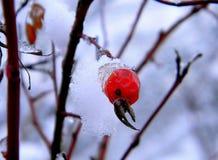 Κόκκινο cankerberry καλυμμένο χιόνι ΚΑΠ Στοκ εικόνα με δικαίωμα ελεύθερης χρήσης