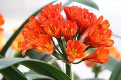 Κόκκινο Clivia Στοκ εικόνες με δικαίωμα ελεύθερης χρήσης