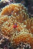 Κόκκινο Clownï ¼ ˆ Amphiprion frenatusï ¼ ‰ Στοκ εικόνες με δικαίωμα ελεύθερης χρήσης