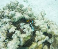 Κόκκινο Clownfish και τρεις-ριγωτό Damselfish Στοκ εικόνες με δικαίωμα ελεύθερης χρήσης