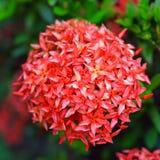 Κόκκινο coccinea Ixora coccinea Ixora (ή γεράνι ζουγκλών, φλόγα των ξύλων, και φλόγα ζουγκλών) κόκκινο (ή γεράνι ζουγκλών, φλόγα Στοκ φωτογραφία με δικαίωμα ελεύθερης χρήσης