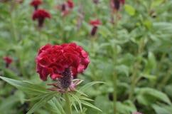 Κόκκινο cristata celosia Στοκ εικόνες με δικαίωμα ελεύθερης χρήσης