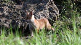 Κόκκινο cub αλεπούδων στέκεται κοντά στην τρύπα και αναρριχείται έπειτα σε την Vulpes απόθεμα βίντεο