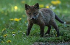 Κόκκινο cub αλεπούδων στοκ φωτογραφία με δικαίωμα ελεύθερης χρήσης
