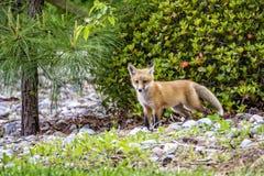 Κόκκινο cub αλεπούδων στοκ εικόνες