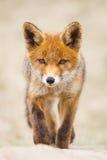 Κόκκινο cub αλεπούδων Στοκ εικόνες με δικαίωμα ελεύθερης χρήσης