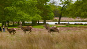 Κόκκινο Deers που τρέχει στους φίλους τους, πάρκο του Ρίτσμοντ απόθεμα βίντεο