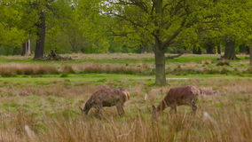 Κόκκινο Deers που ψάχνει στη χλόη φιλμ μικρού μήκους