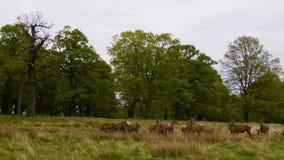 Κόκκινο Deers στον ανοικτό τομέα απόθεμα βίντεο