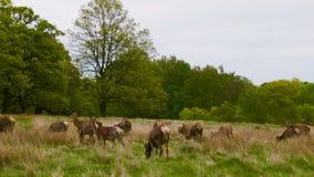 Κόκκινο Deers στο πάρκο του Ρίτσμοντ απόθεμα βίντεο