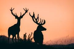 κόκκινο deers στοκ εικόνες