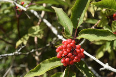 Κόκκινο Elderberry Στοκ Εικόνα