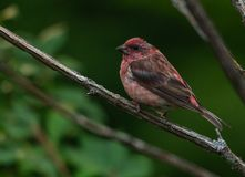 Κόκκινο Finch που σκαρφαλώνει σε έναν κλάδο δέντρων στοκ φωτογραφίες