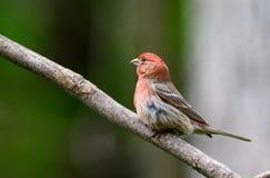 Κόκκινο Finch σπιτιών που σκαρφαλώνει σε έναν κλάδο στοκ φωτογραφίες με δικαίωμα ελεύθερης χρήσης
