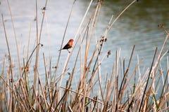 Κόκκινο Finch στους καλάμους Στοκ Εικόνες