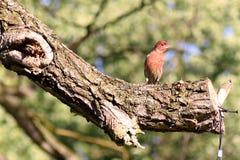 Κόκκινο Finch στοκ εικόνα