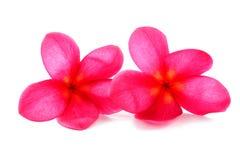 Κόκκινο frangipani Στοκ Εικόνες