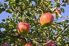 κόκκινο fuji μήλων Στοκ Εικόνες