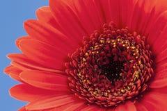 Κόκκινο Gerbera σε έναν χλωμό - μπλε υπόβαθρο Στοκ Εικόνες