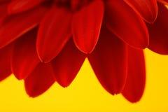 Κόκκινο gerbera στην κίτρινη ανασκόπηση Στοκ Φωτογραφία