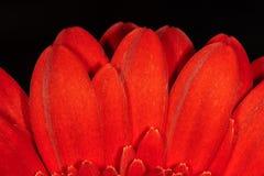 Κόκκινο gerbera στοκ φωτογραφία