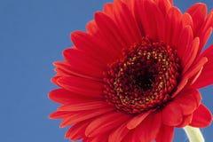 Κόκκινο gerbera Στοκ φωτογραφίες με δικαίωμα ελεύθερης χρήσης