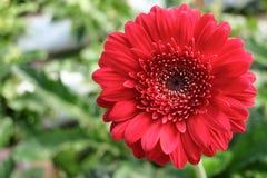 Κόκκινο Gerbera Daisy στο πράσινο υπόβαθρο Στοκ Φωτογραφία