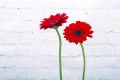 Κόκκινο Gerbera Daisy στοκ φωτογραφία με δικαίωμα ελεύθερης χρήσης