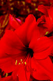 Κόκκινο gladiolus Στοκ φωτογραφία με δικαίωμα ελεύθερης χρήσης