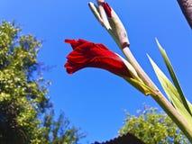 κόκκινο gladiolus Στοκ φωτογραφίες με δικαίωμα ελεύθερης χρήσης