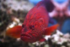 Κόκκινο grouper κοραλλιών κολυμπά στη Ερυθρά Θάλασσα Στοκ φωτογραφία με δικαίωμα ελεύθερης χρήσης