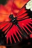 κόκκινο heliconius dora πεταλούδων Στοκ φωτογραφία με δικαίωμα ελεύθερης χρήσης