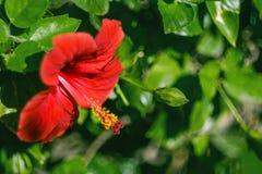 Κόκκινο Hibiscus λουλουδιών sabdariffa Στοκ εικόνα με δικαίωμα ελεύθερης χρήσης