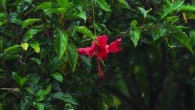 Κόκκινο hibiscus λουλούδι κάτω από τη βροχή απόθεμα βίντεο